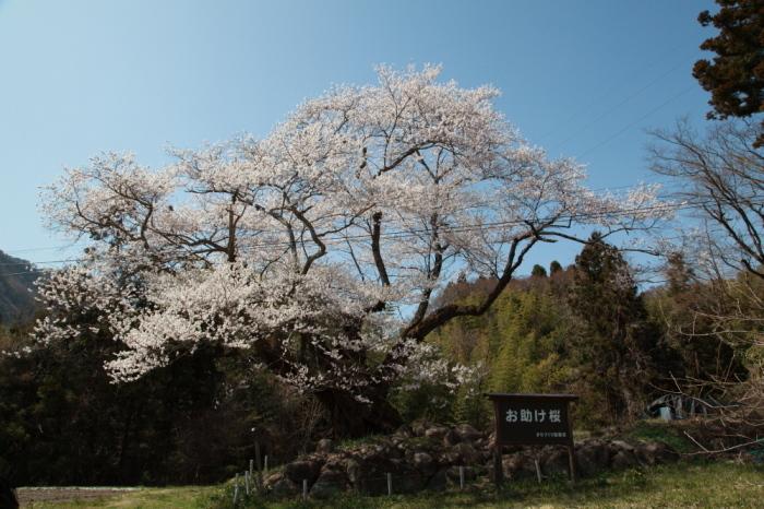 水上町 相俣のお助け桜_e0165983_10194543.jpg