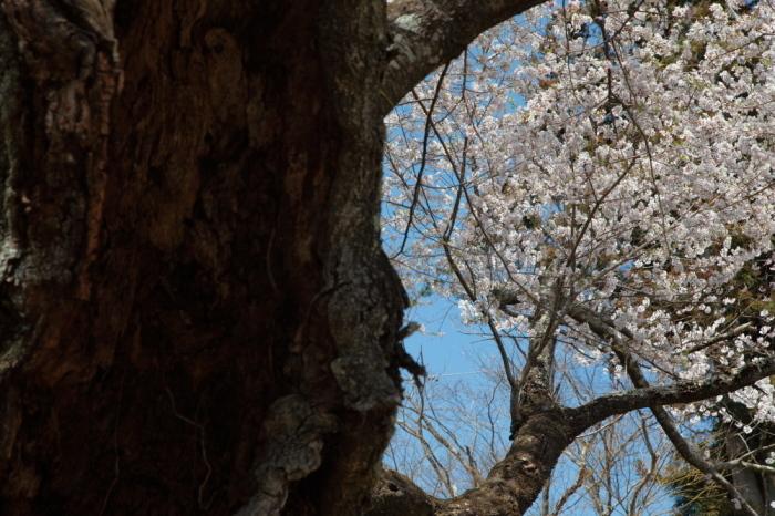 水上町 相俣のお助け桜_e0165983_10200048.jpg