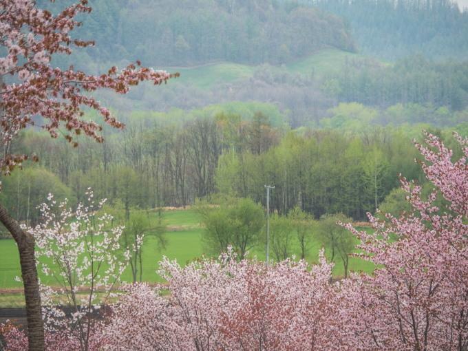 十勝の桜名所になった「桜六花公園」満開でした!_f0276498_23503098.jpg