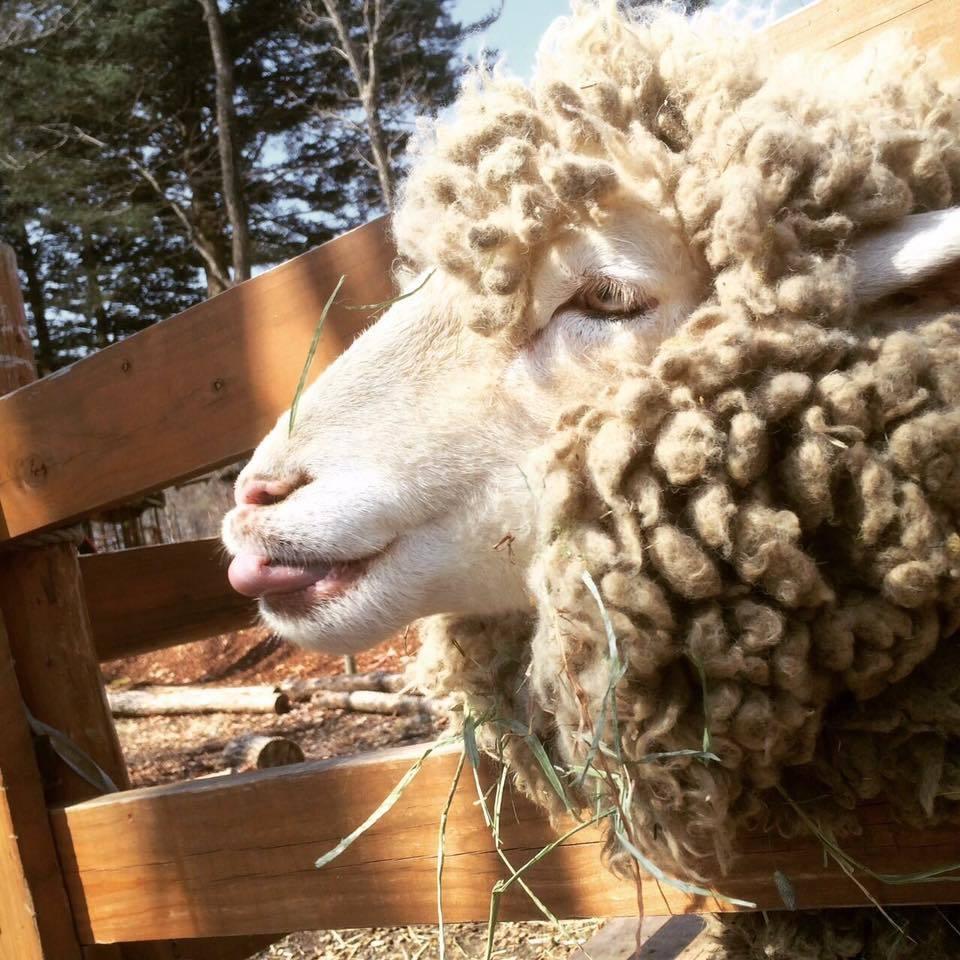 羊の毛刈りショー ハルちゃんの衣替え_b0174425_16470687.jpg