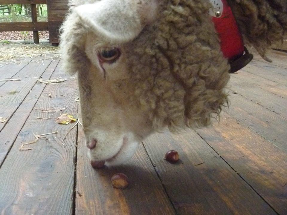 羊の毛刈りショー ハルちゃんの衣替え_b0174425_17113207.jpg