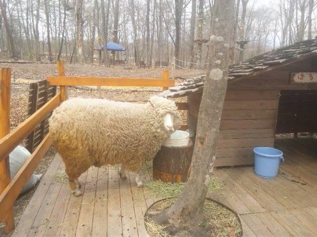 羊の毛刈りショー ハルちゃんの衣替え_b0174425_17113957.jpg