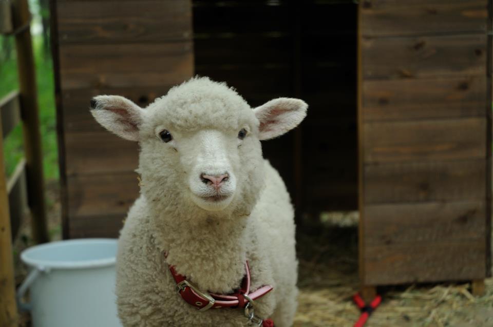 羊の毛刈りショー ハルちゃんの衣替え_b0174425_17120067.jpg