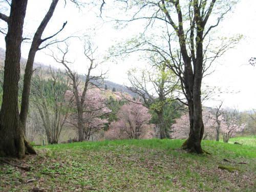 コヌカ原の桜_b0365347_14443503.jpg