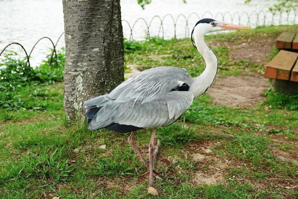 野鳥トレ 161 キビタキ_b0227552_18590214.jpg