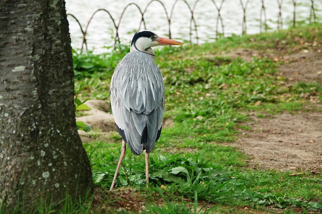 野鳥トレ 161 キビタキ_b0227552_18590940.jpg