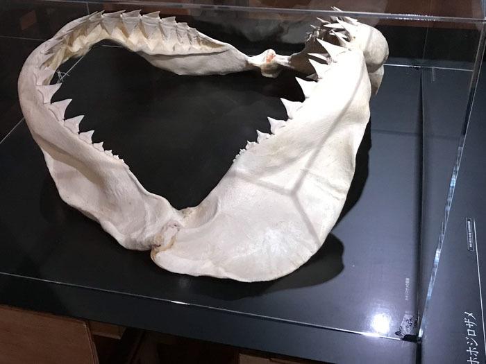 「くらやみの覇者」展 ふじのくに地球環境史ミュージアム やっと深海サメ_d0068664_15245129.jpg