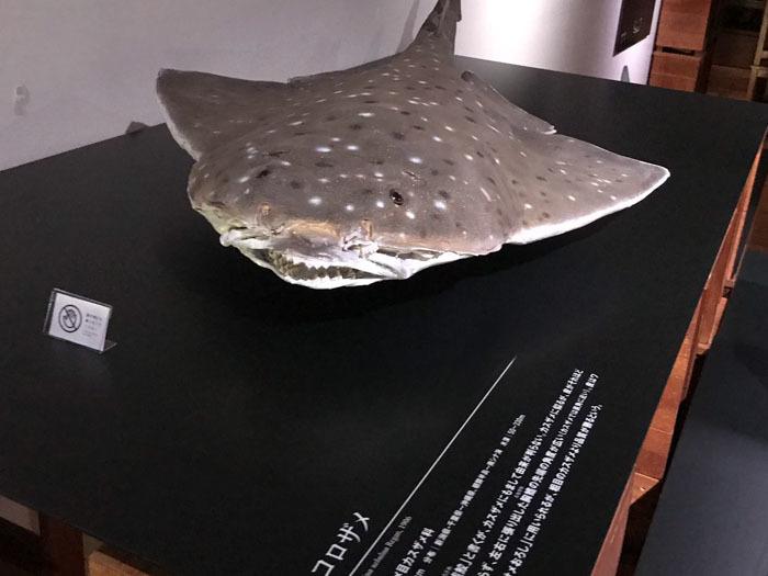 「くらやみの覇者」展 ふじのくに地球環境史ミュージアム やっと深海サメ_d0068664_15245510.jpg