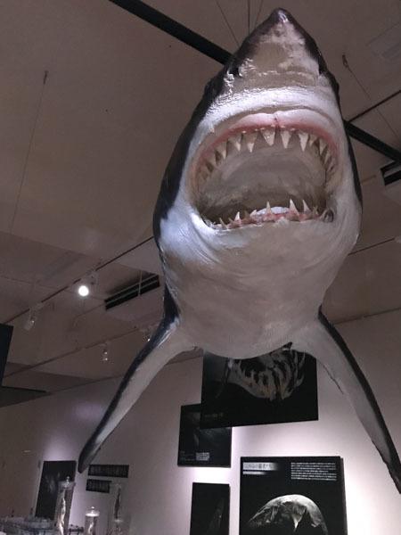 「くらやみの覇者」展 ふじのくに地球環境史ミュージアム やっと深海サメ_d0068664_15250284.jpg