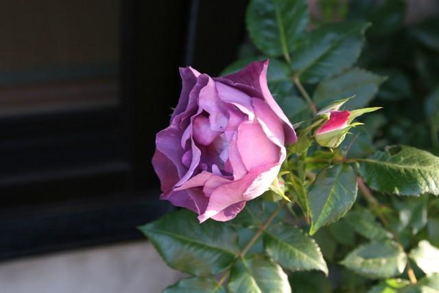 北摂の5月の庭_f0229190_13215225.jpg