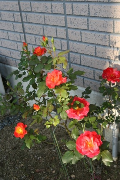 北摂の5月の庭_f0229190_13223167.jpg
