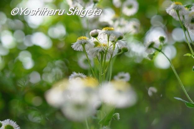 〜姫女苑〜_c0152400_16520222.jpg