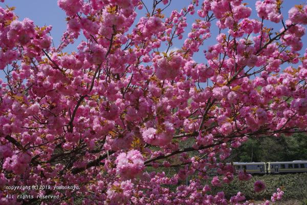 今年最後の八重桜を_d0309612_00064472.jpg