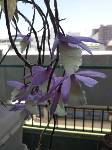 ピラルディが咲きました_f0161122_20353445.jpg