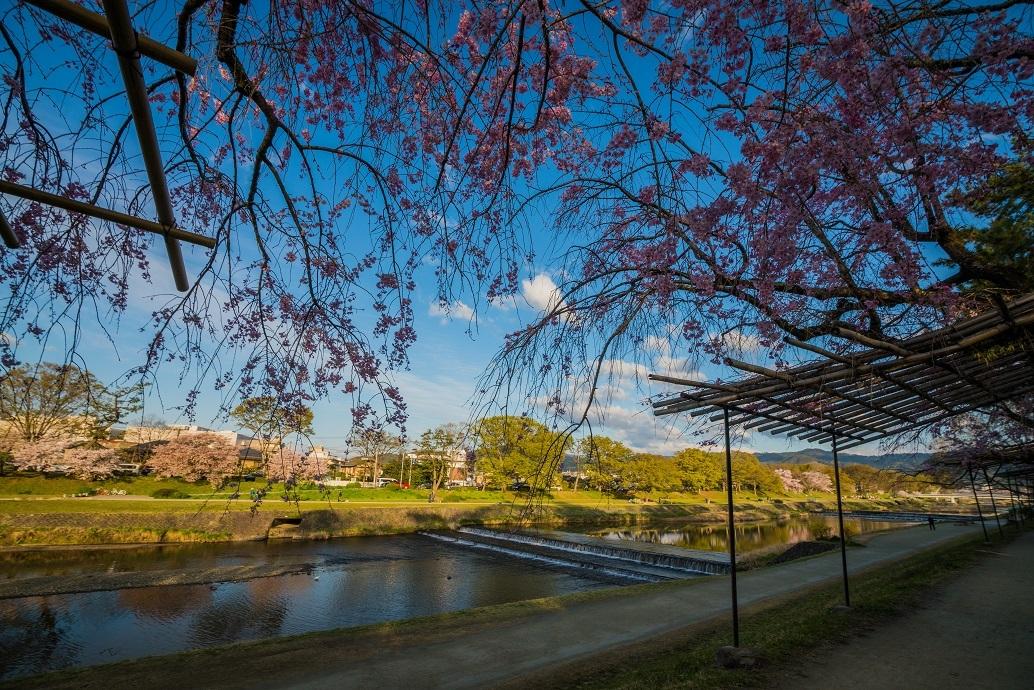 2019京都桜~半木の道_e0363038_11274990.jpg