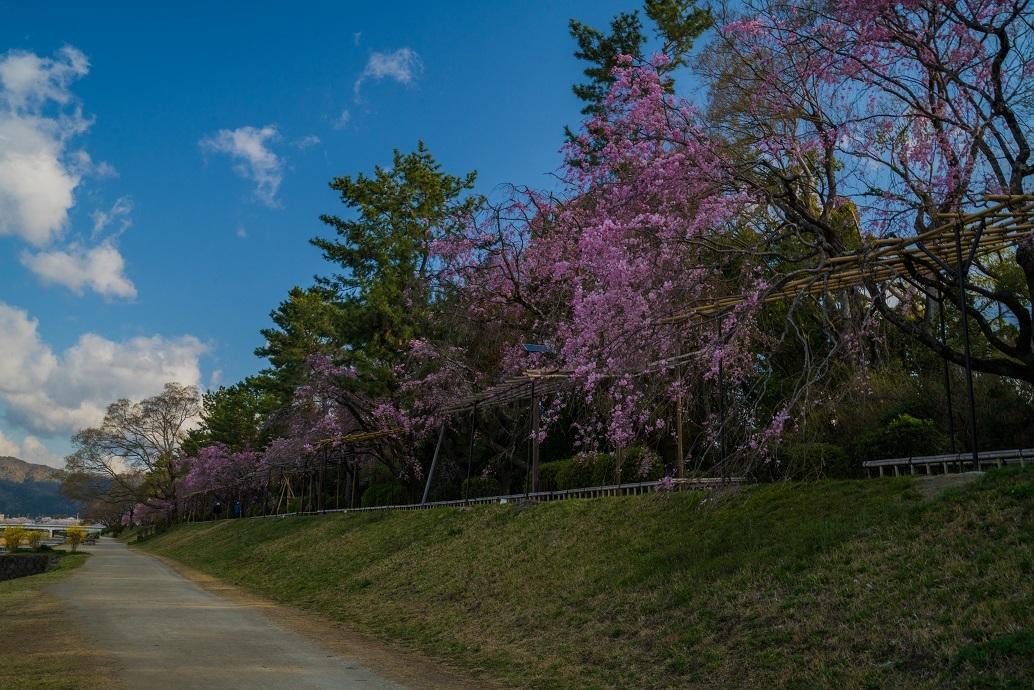 2019京都桜~半木の道_e0363038_11275306.jpg