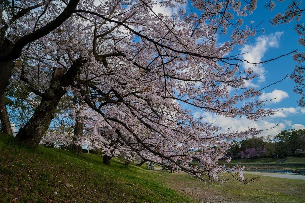 2019京都桜~半木の道_e0363038_11275750.jpg