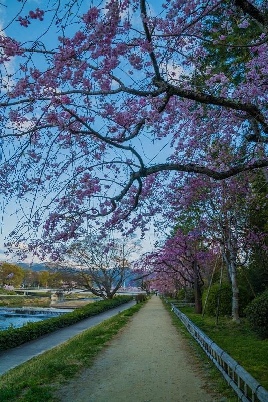 2019京都桜~半木の道_e0363038_11280507.jpg