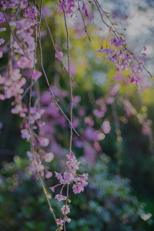 2019京都桜~半木の道_e0363038_11281278.jpg