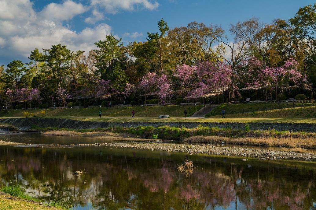 2019京都桜~半木の道_e0363038_11282336.jpg