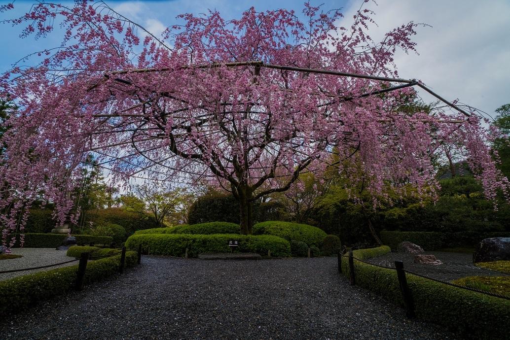 2019京都桜~退蔵院_e0363038_15042320.jpg