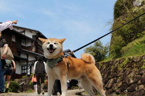 和な柴犬 ⑤_f0245650_06401822.jpg