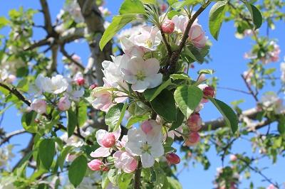 弘前りんご花まつり_2019.05.10_d0131668_13434574.jpg