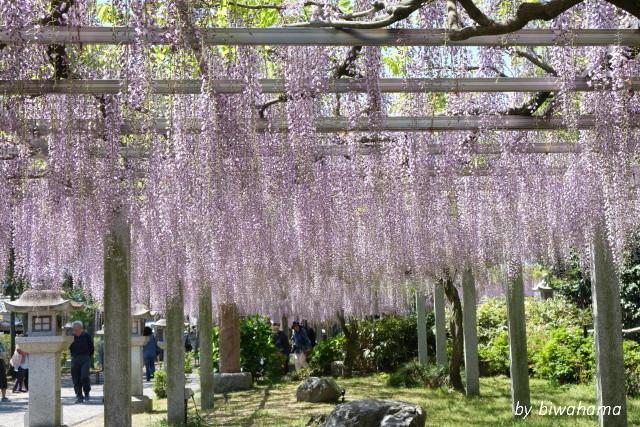 三大神社の藤_b0055171_10284424.jpg