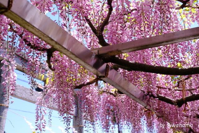 三大神社の藤_b0055171_10290106.jpg