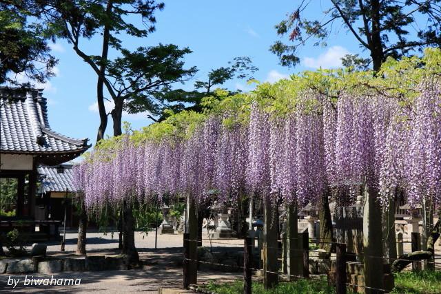 三大神社の藤_b0055171_10302234.jpg