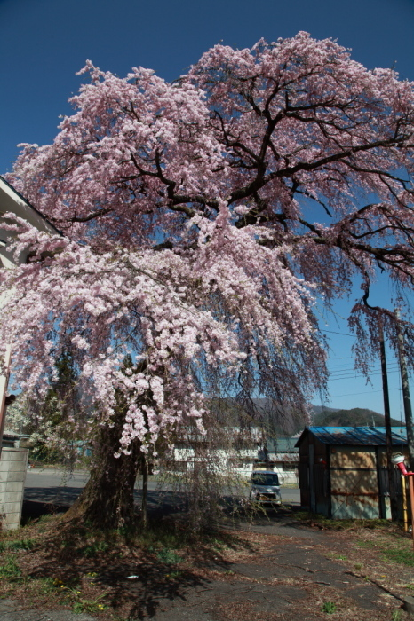 水上町 猿ケ京温泉の下馬のシダレザクラ_e0165983_10022611.jpg