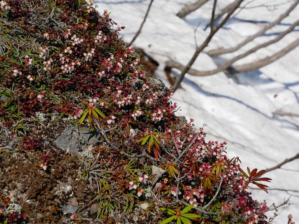 コメバツガザクラ咲く樽前山、2019.5.10ー速報版ー_f0138096_18101267.jpg
