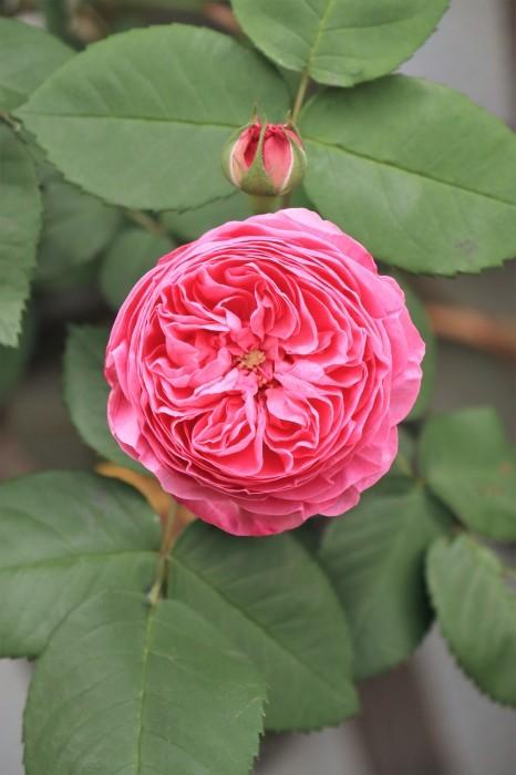 イングリッシュガーデンの花々_d0150720_18481454.jpg