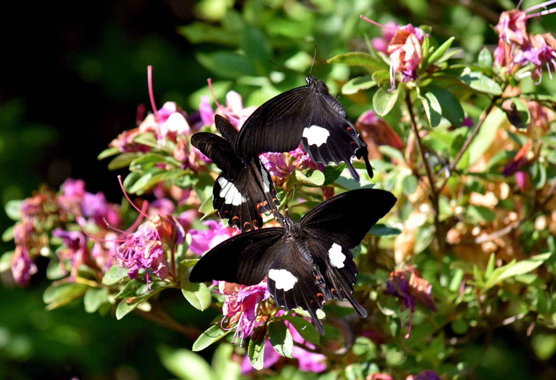 黒系アゲハ達 5月5日_d0254540_20031669.jpg