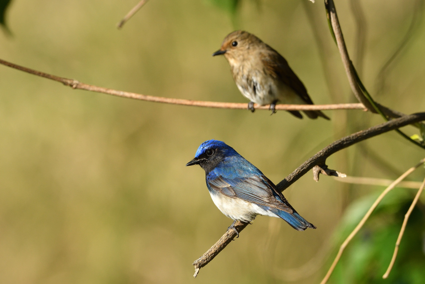 オオルリ(Blue-and-White Flycatcher)/2019.05_b0148352_00412228.jpg