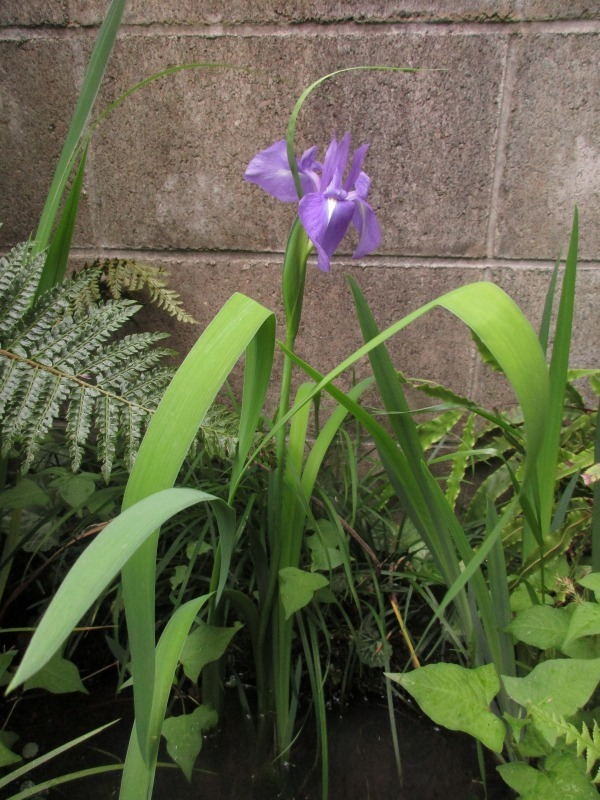 植物「カキツバタが咲きました」_b0362459_12314503.jpg
