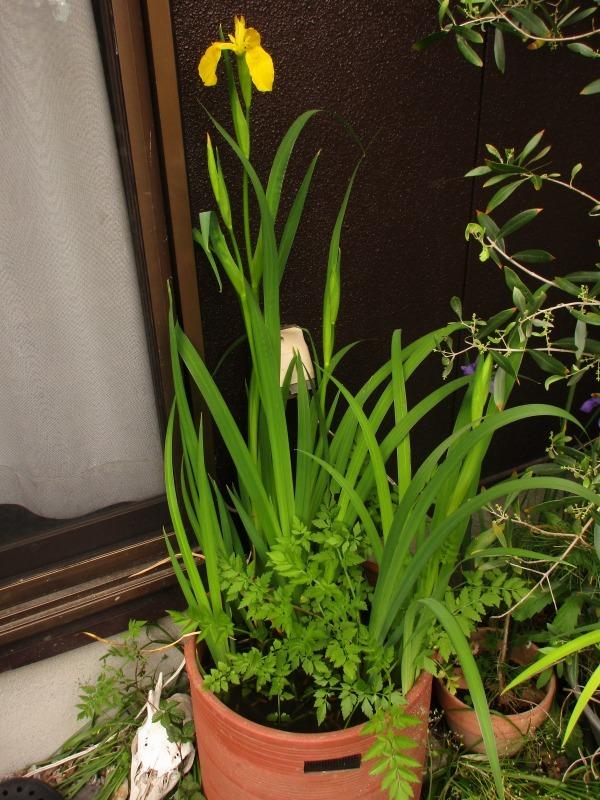 植物「カキツバタが咲きました」_b0362459_12352825.jpg