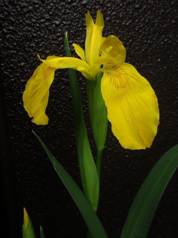 植物「カキツバタが咲きました」_b0362459_12364255.jpg