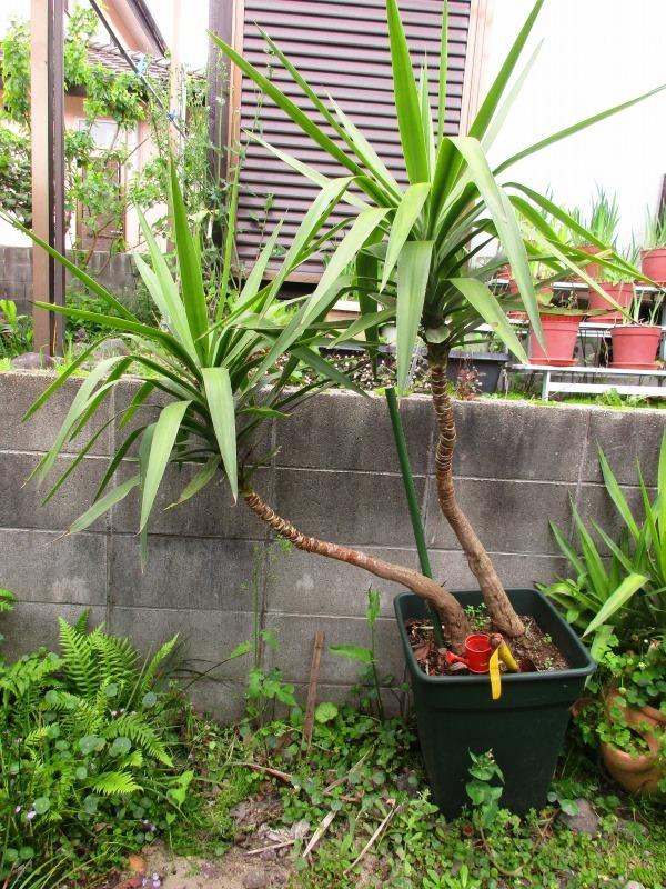 植物「カキツバタが咲きました」_b0362459_12424998.jpg