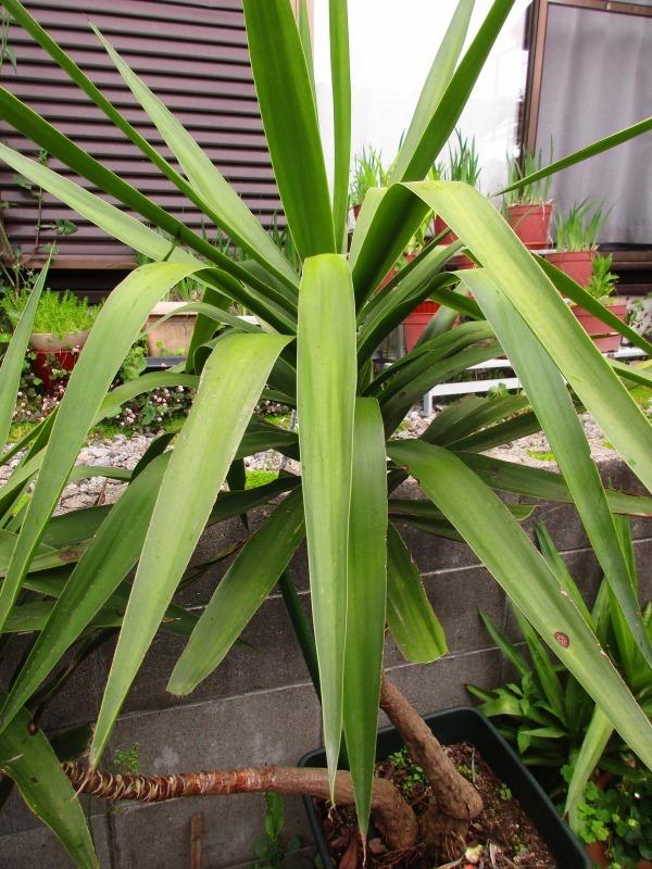 植物「カキツバタが咲きました」_b0362459_12460077.jpg