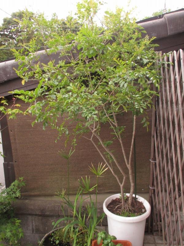 植物「カキツバタが咲きました」_b0362459_12483446.jpg