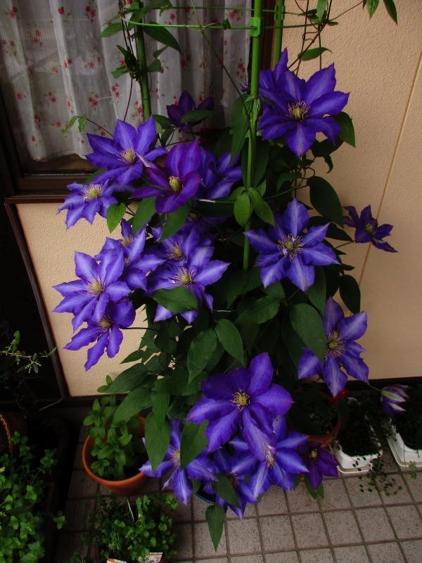 植物「カキツバタが咲きました」_b0362459_12505986.jpg