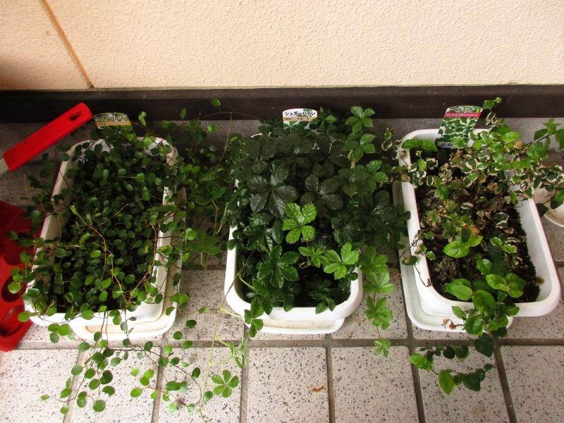 植物「カキツバタが咲きました」_b0362459_12571570.jpg