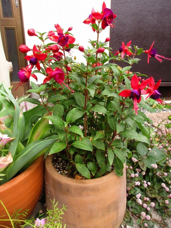 植物「カキツバタが咲きました」_b0362459_13022663.jpg