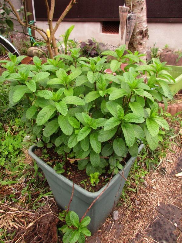 植物「カキツバタが咲きました」_b0362459_13053310.jpg
