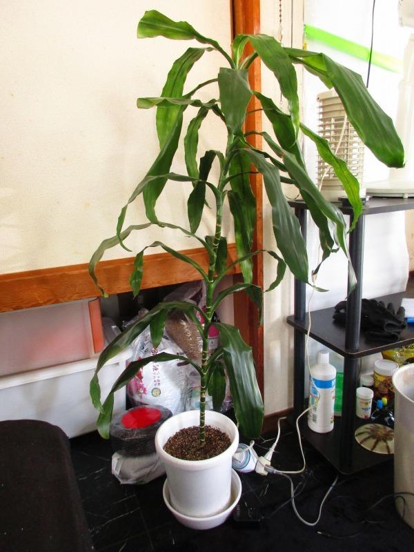 植物「アジアンタムはやっぱり難しい」_b0362459_20504214.jpg