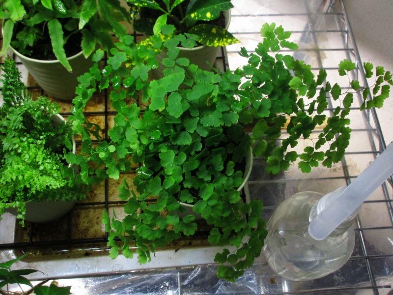 植物「アジアンタムはやっぱり難しい」_b0362459_21305475.jpg