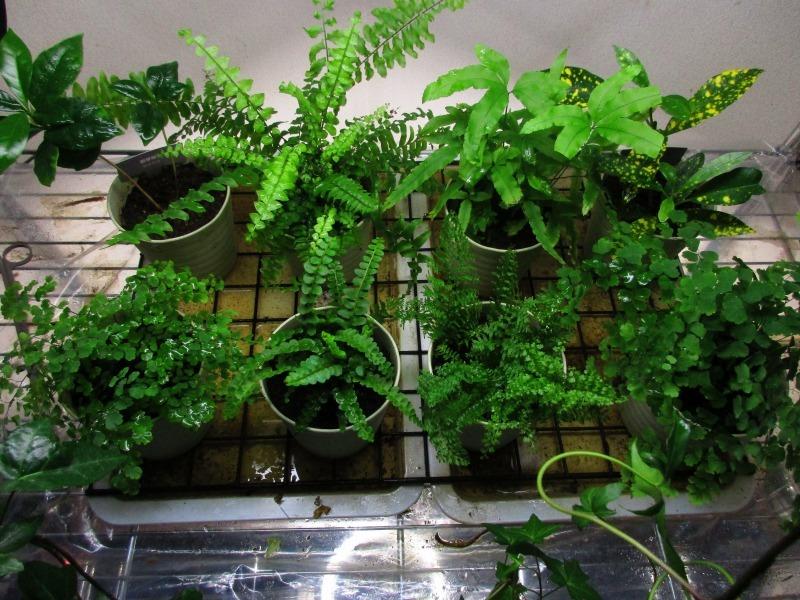 植物「アジアンタムはやっぱり難しい」_b0362459_21310604.jpg
