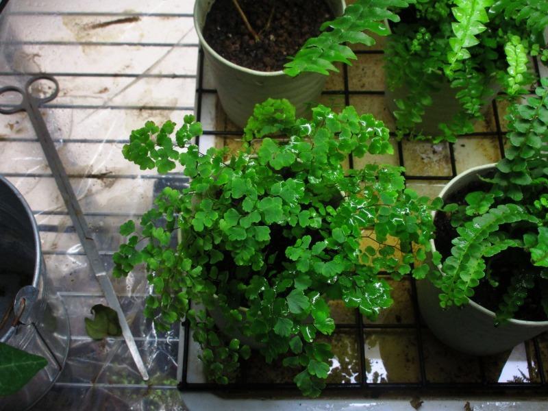 植物「アジアンタムはやっぱり難しい」_b0362459_21322888.jpg
