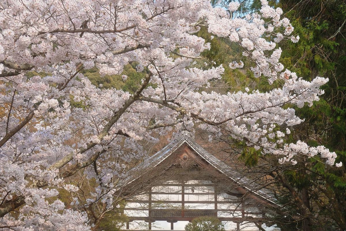桜 2019_f0021869_23044785.jpg